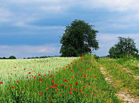 Field, Poppies, Way, The Path, Meadow, Flowers, Nature