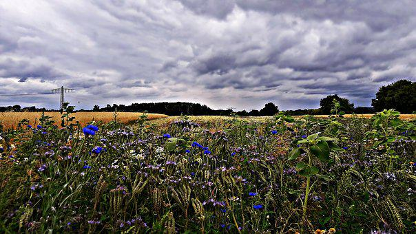Field, Poppies, Cornflowers, Meadow, Flowers, Nature