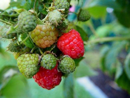 Raspberry, Fruit, Garden, Fruits, Berries, Red, Green