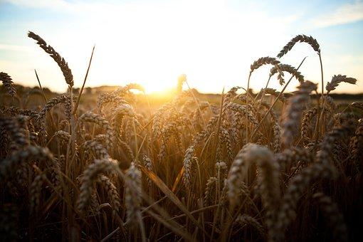 Wheat, Grass, Grain, Plant, Cereal, Sunset, Sunrise