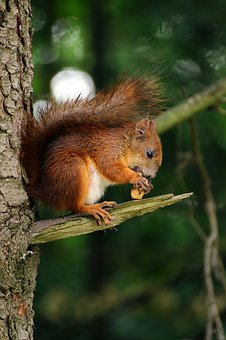 Squirrel, Animal, Eating, Tree, Branch, Wood, Plant