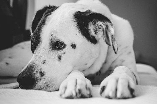 Black And White, Pet, Animal, Puppy, Dog