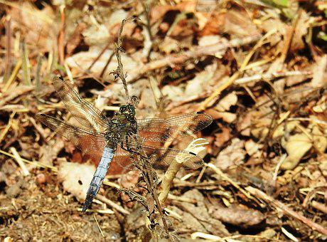 Dragonfly, Plattbauch, Insect, Flight Insect, Nature