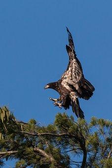 Eagle, Bird, Nature, Hawk, Predator, Wildlife
