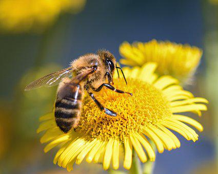Bee, Flower, Forage, Insect, Macro, Yellow