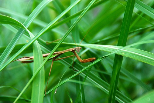 Mantis, Insect, Predator, Green, Bug, Animal, Nature