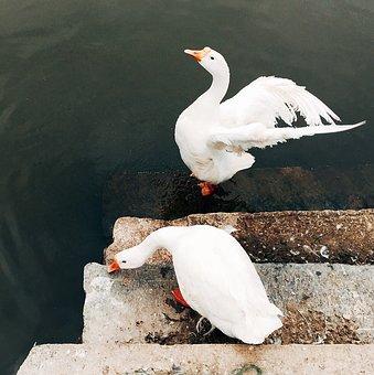 Bird, Animal, Geese, White, Water, Stairs