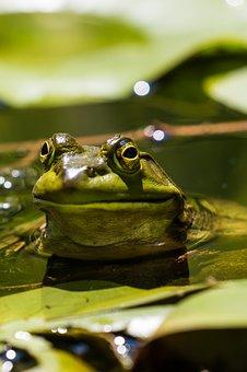 Frog, Water, Nature, Amphibian, Wildlife, Pond, Summer