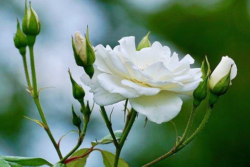 Roses, White, White Rose, White Roses, Flower, Nature