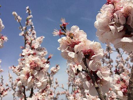 Peach Blossom, Bee, Sky