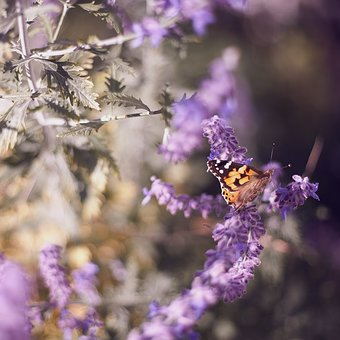 Butterfly, Insect, Nature, Purple, Flower, Lavender