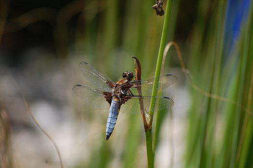 Dragonfly, Close, Waters, Wildlife Photography