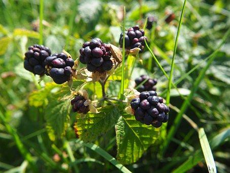 Berries, Blue, Grass, Nature, Fruits, Bush, Bed, Plant