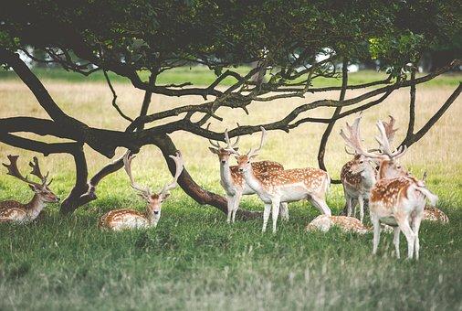 Deer, Animal, Wildlife, Green, Grass, Field, Tree