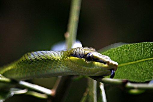 Snake, Green, Green Tree Snake, Scale, Terrarium