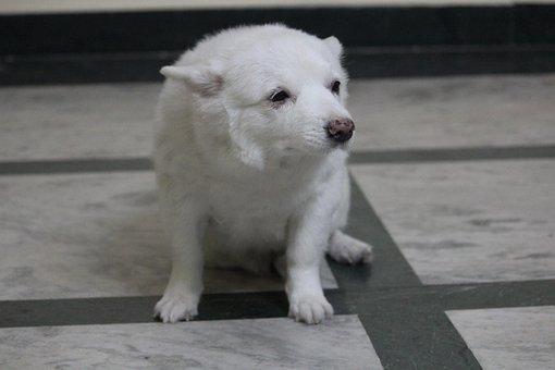 Pommerian, Japanese Spitz, Bitch, Puppy, Whiite, Rani