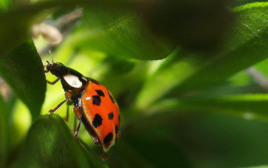Ladybird, Insect, Bug, Nature