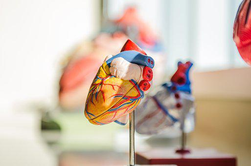 Heart, Human, Anatomy, Nerves, Muscles, Medical, Doctor