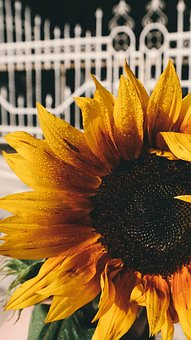 Sunflower, Petals, Plant, Nature, Yellow, Seeds, Leaves
