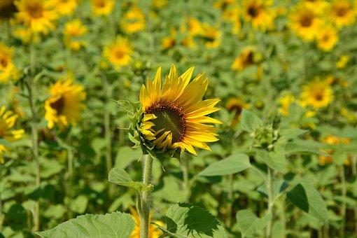 Sunflower, Flowers, Sunflower Field, Yellow, Summer