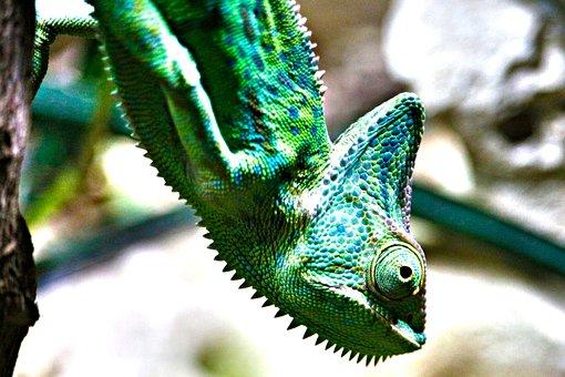 Chameleon, Yemen, Terrarium, Creature, Animal World