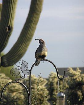 Gambel's Quail, Male Quail, Bird, Quail, Desert