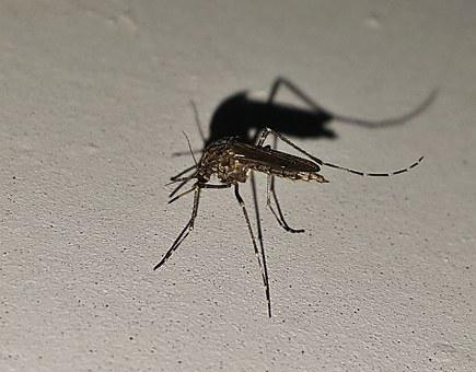 Mosquito, Insect, Winged Insect, Bug, Malaria, Pest