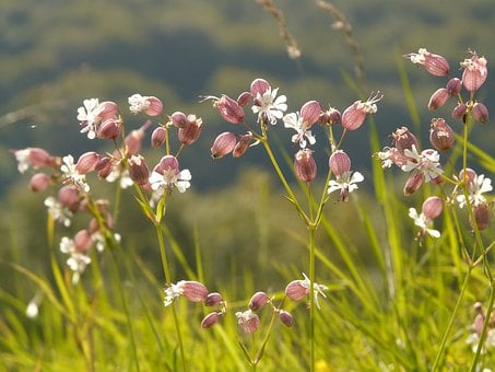 Taubenkropf Leimkraut, Pointed Flower, Silene Vulgaris
