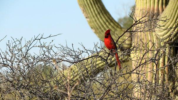 Cardinal, Saguaro Cactus, Sonoran Desert, Tucson