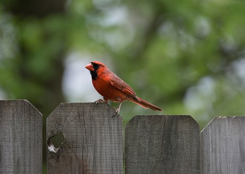 Animals, Birds, Red, Feathers, Perched, Fence, Trees