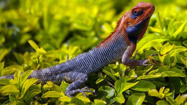 Animals, Reptiles, Chameleon, Iguana, Lizard, Scales