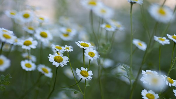 Flowers, Nature, Blossoms, Branches, Bed, Field, Stems