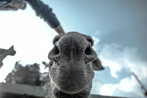 Animals, Mammals, Camel, Snout, Whiskers, Nose, Cute