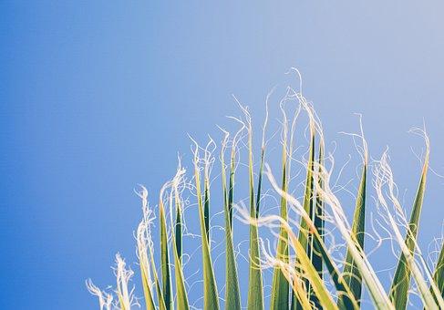 Nature, Harvest, Crops, Corn, Stalks, Hair, Strings