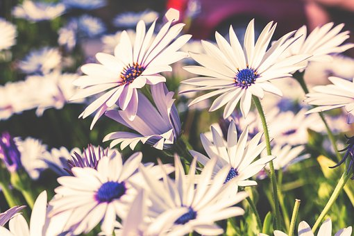 Flowers, Nature, Blossoms, Field, Bed, White, Stems