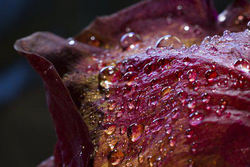 Flowers, Nature, Blossoms, Petals, Macro, Rain, Water