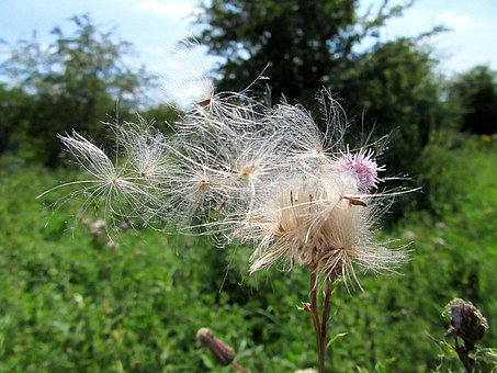 Fluff, Seeds, Flower, Wind, Seed, Nature, Flowers
