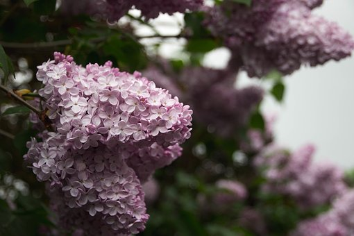 Flowers, Nature, Blossoms, Branches, Stems, Stalk, Pink
