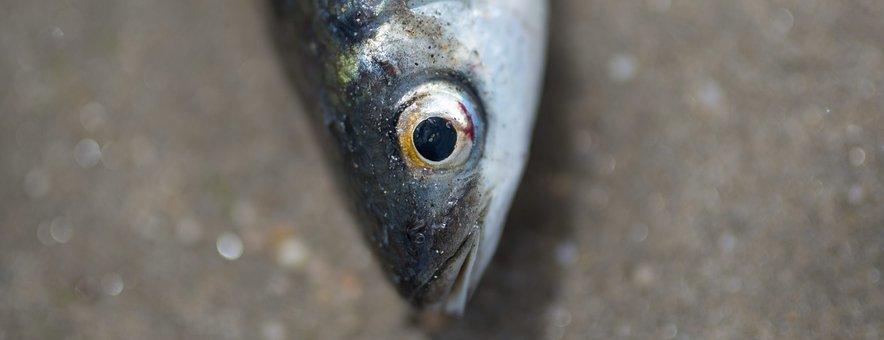 Animals, Fish, Raw, Head, Eyes, Scales, Gray, Still