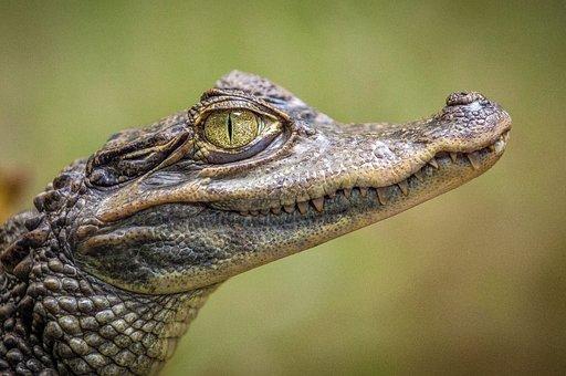 Animals, Reptiles, Crocodile, Eyes, Teeth, Scales
