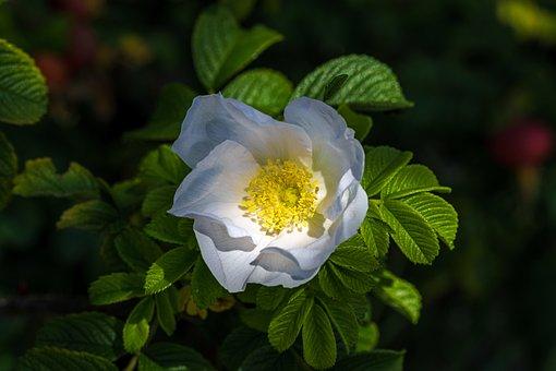Rose Hip, Wild Rose, Nature, Plant, Close, Bush