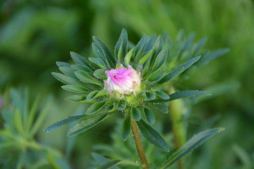 Flower Bud, Flower, Button, Garden, Bud, Pink Green
