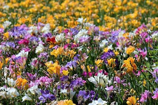 Freesias, Field Of Flowers, Sea Of Flowers, Blütenmeer