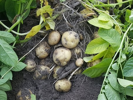 Potatoes, Field, Harvest, Starch Potatoes, Agriculture