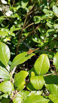 Dragonfly, Insect, Bug, Nature, Wildlife, Wing