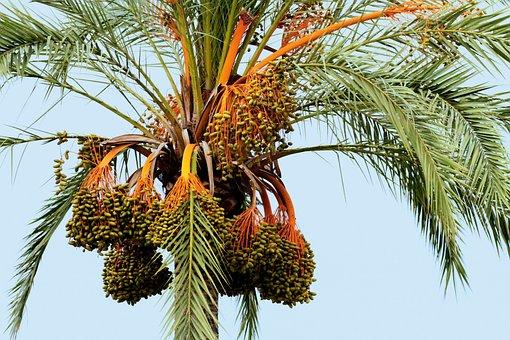 Mallorca Spain, Palm, Fruit, Fronds, Balearic, Seeds