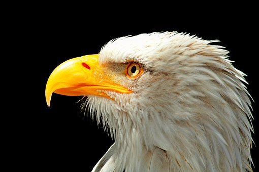 Adler, Bald Eagle, Raptor, Bird, Bird Of Prey, Bill