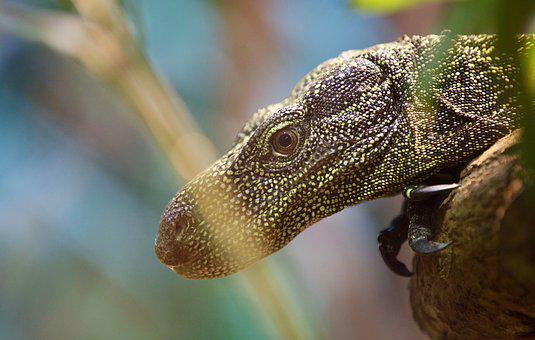 Lizard, Animal, Reptile, Nature, Wildlife, Pet