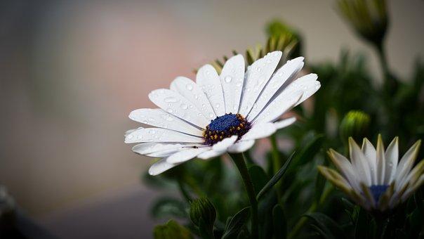 Flowers, Nature, Blossoms, White, Daisies, Stalks