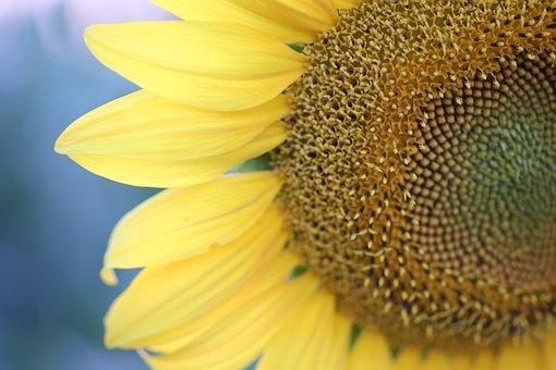 Sunflower, Evening, Macro, Petals, Yellow, Nature